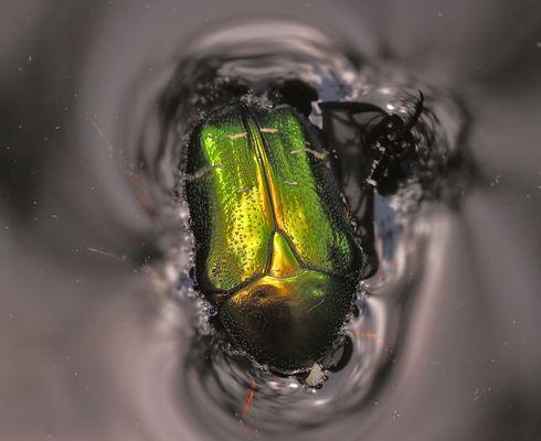 käfer in regentonne