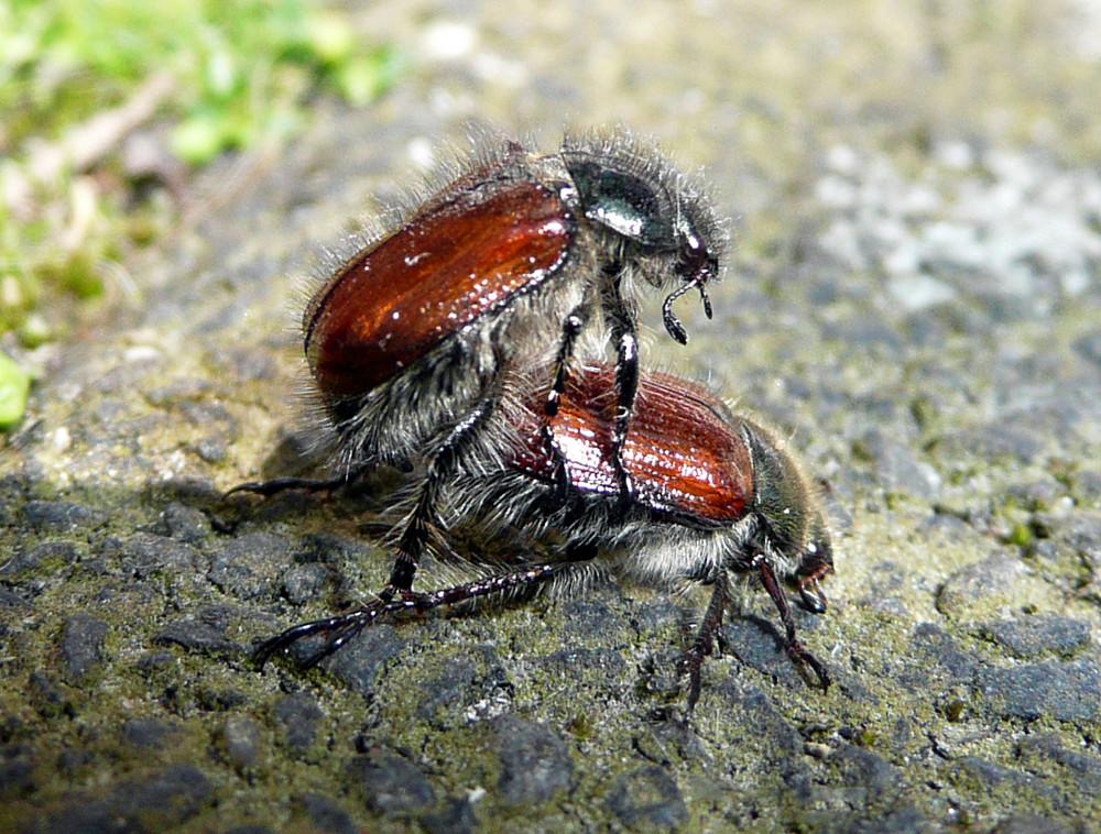 Käfer-Liebe