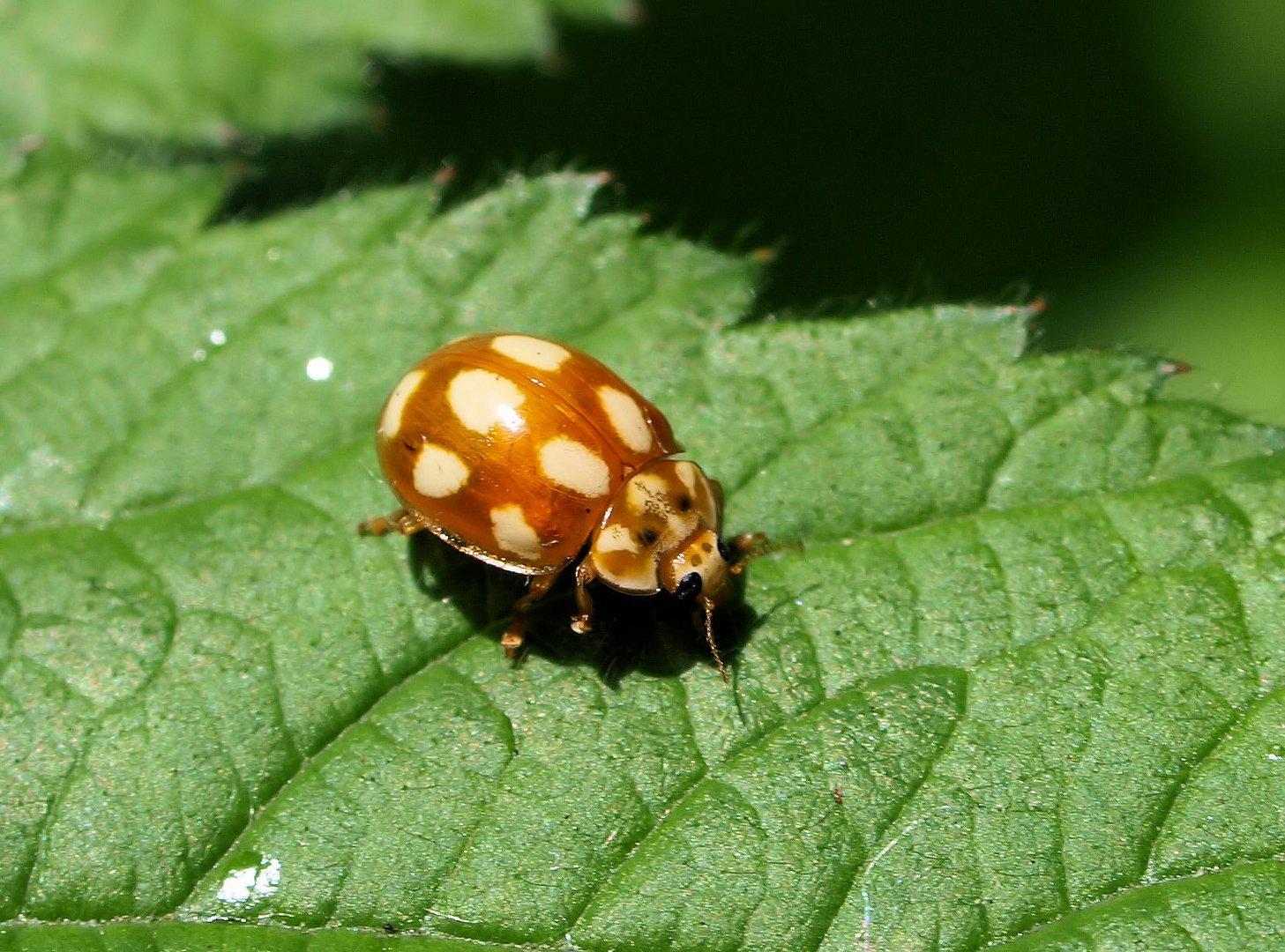 Käfer mit Baummuster....