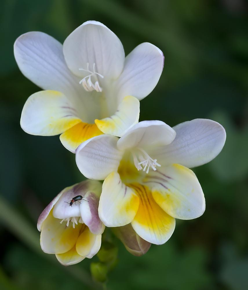 k fer mit freesien foto bild pflanzen pilze flechten bl ten kleinpflanzen flora. Black Bedroom Furniture Sets. Home Design Ideas