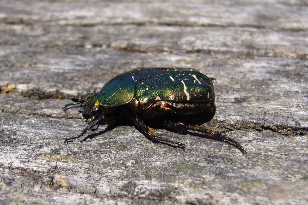 Käfer mit Lackschäden