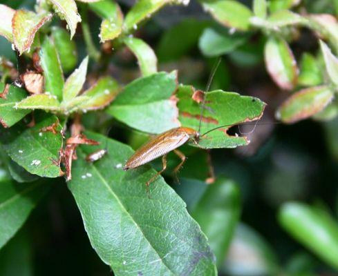 Käfer mit langen Fühlern