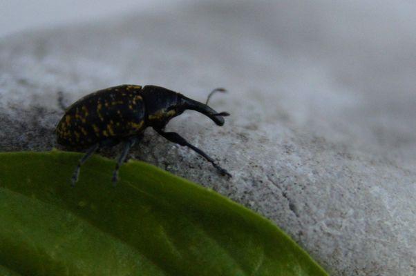 Käfer mit Rüssel