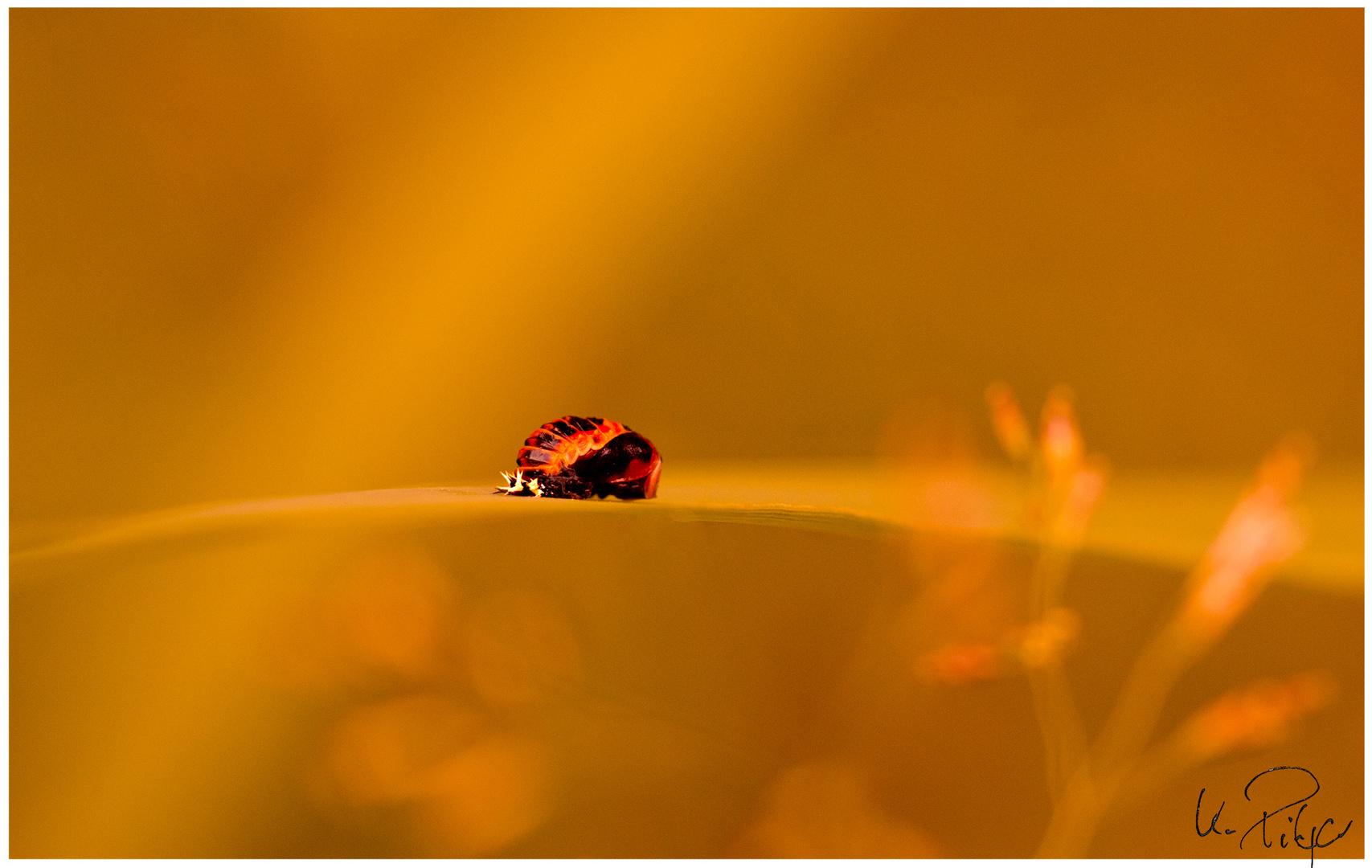 Käfer oder Wanze? *14 hierher?