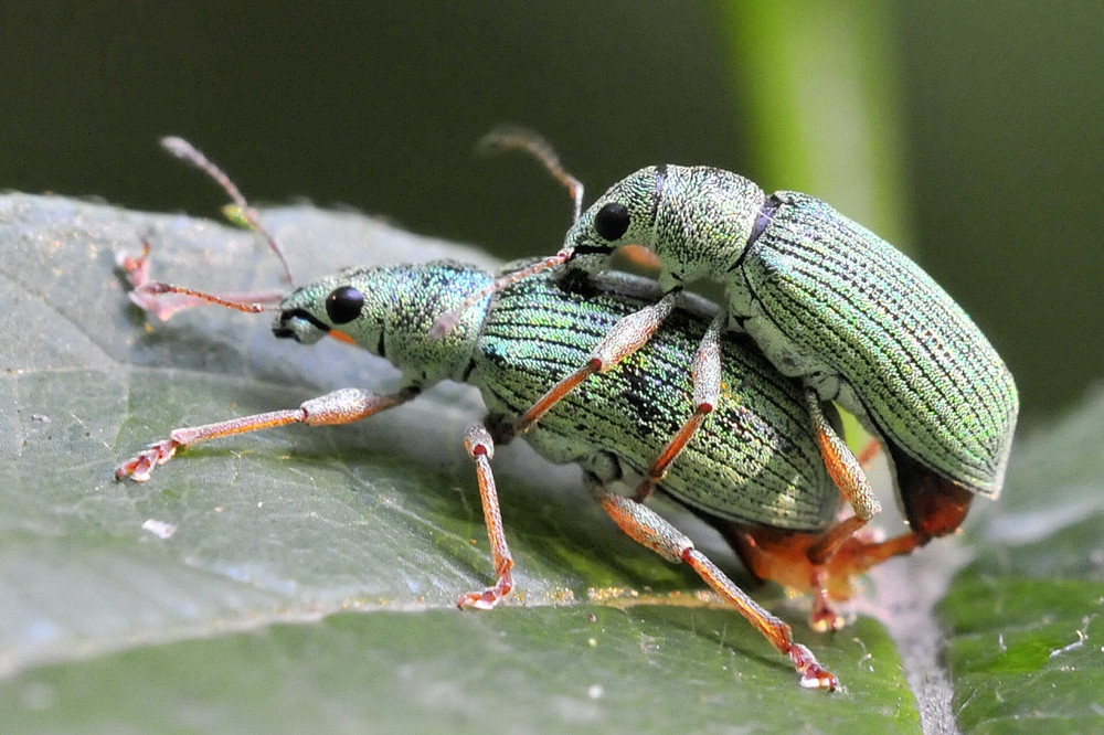 Käfer-Paarung in Bottrop