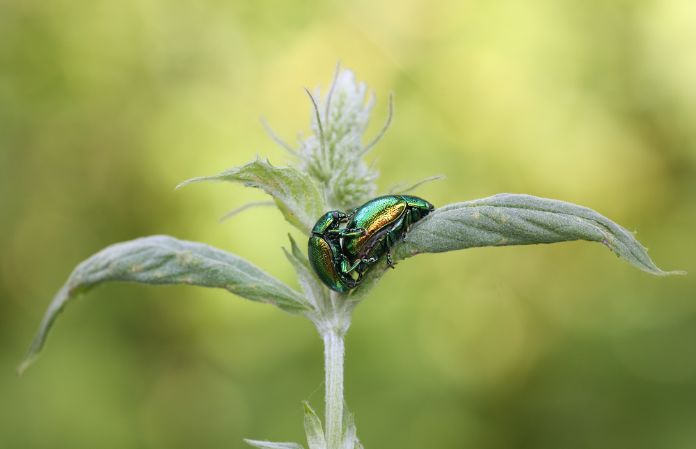 Käfer Produktion