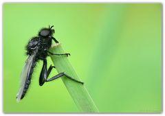 Käfer schwarz