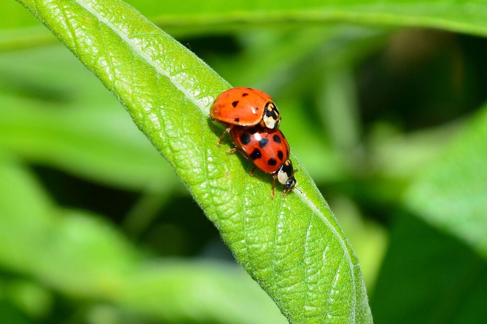 Käfer-stündchen