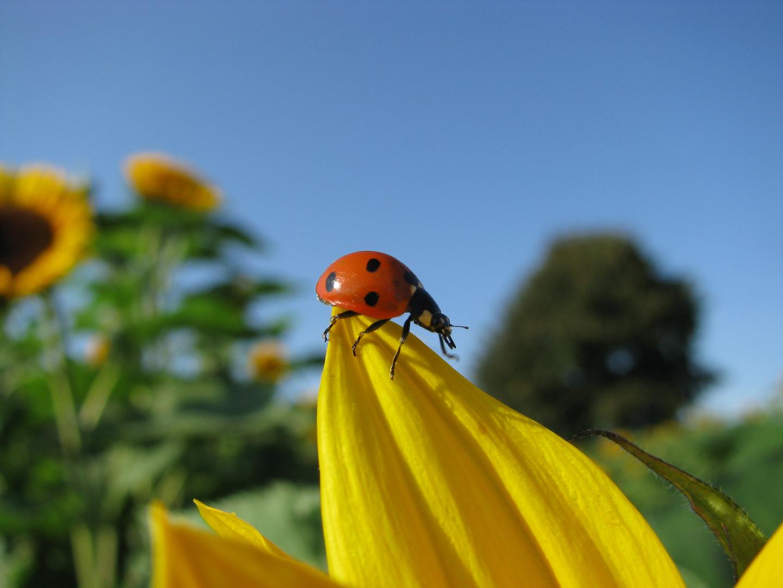 Käfer trifft Sonnenblume