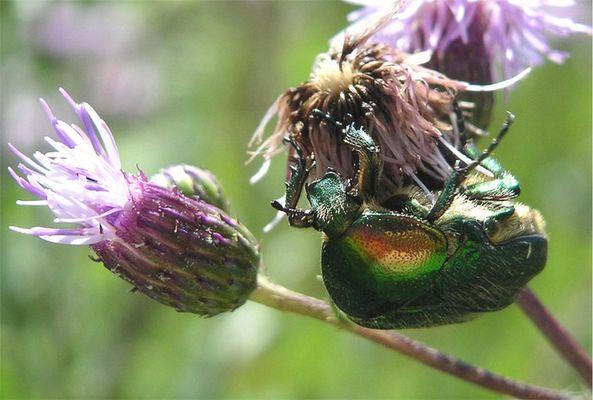 Käfer - unbekannt
