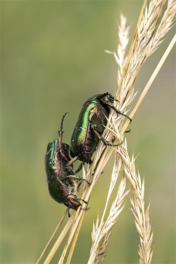 Käferakrobatik
