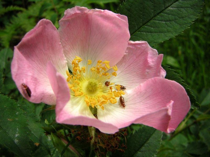 Käferblume