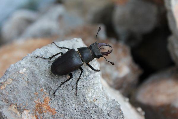 Käferchen