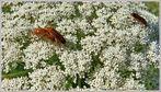 *Käferfrühling*