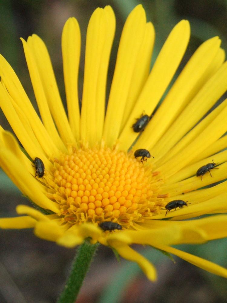 Käfermeeting