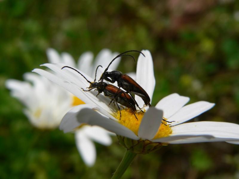 Käferpaarung