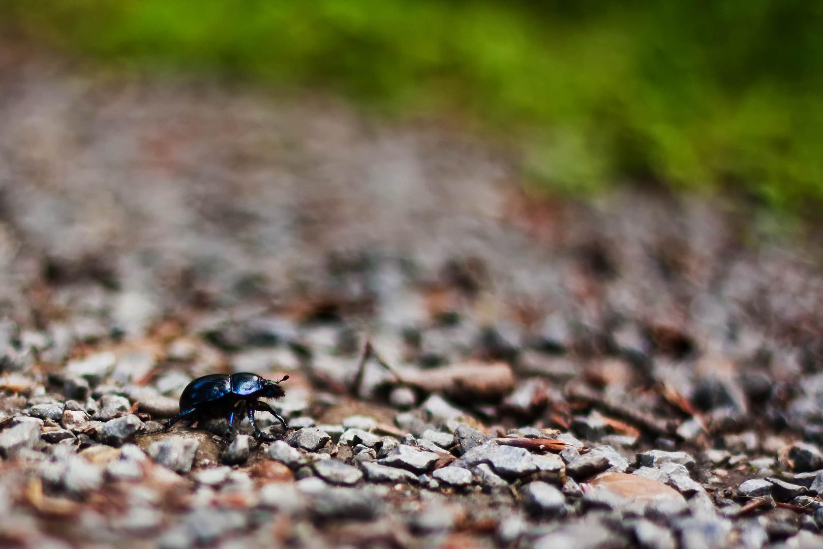 Käfers scharfer Weg