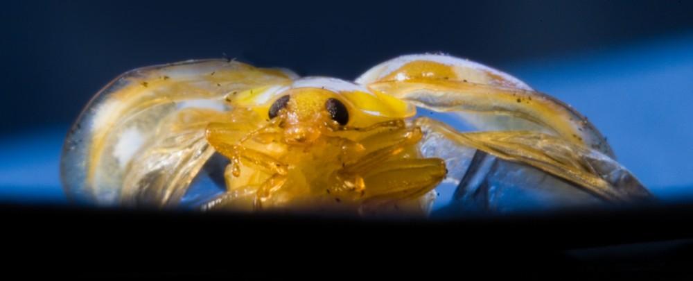 Käferschönheit