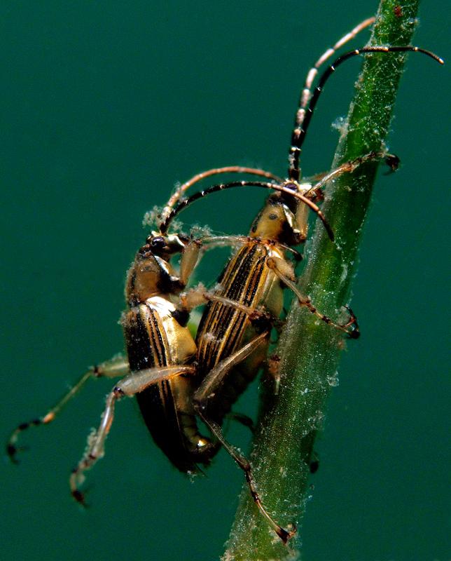 Käfersex unter Wasser