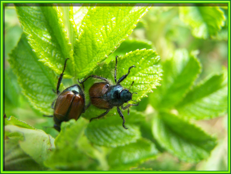 Käfertreffen (Nr.2)