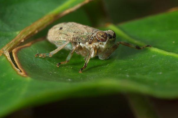 Käferzikade - Issus coleoptratus