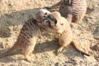 Kämpfende Erdmännchen