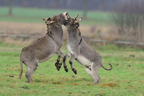 Kämpfende Esel