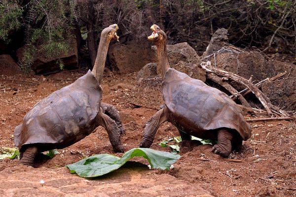 Kämpfende Galapagos Riesenschildkröten