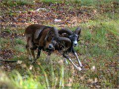 Kämpfende Muffelwidder