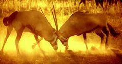 Kämpfende Oryx-Antilopen im morgendlichen Gegenlicht