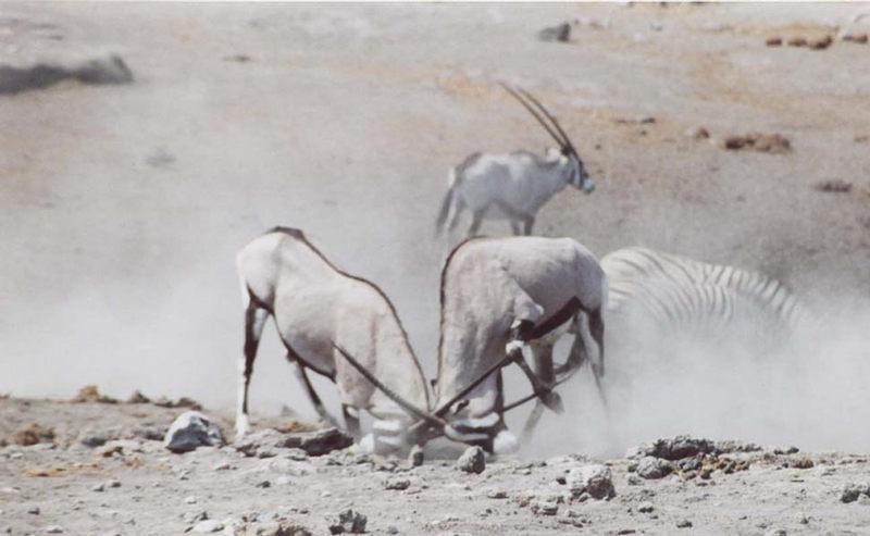 kämpfende Oryxantilopen