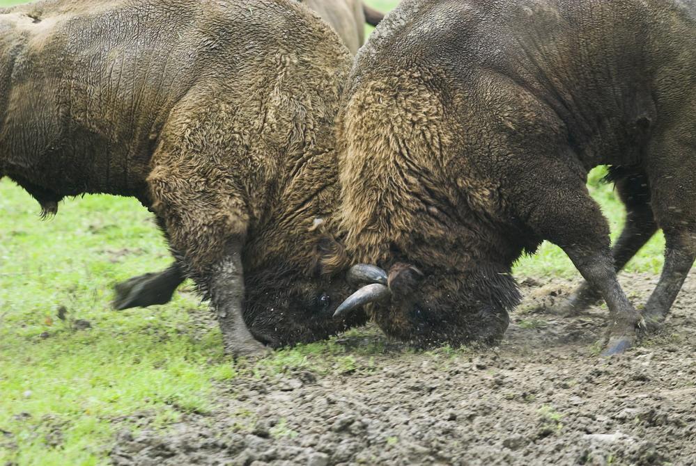 kämpfende Wisentbullen