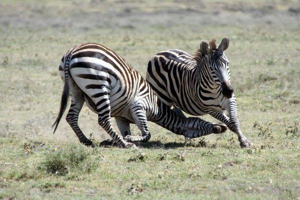 Kämpfende Zebrahengste - oder Alles nur ein Spiel?
