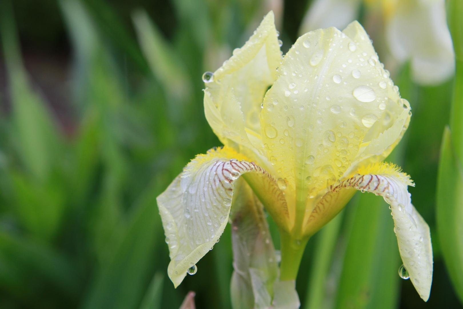kämpft sich durch den nassen Frühling