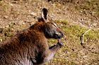 Känguru beim Snack