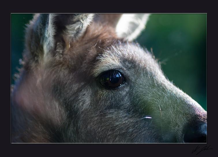 Känguru im Gegenlicht