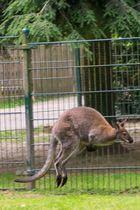Känguru im Sprung