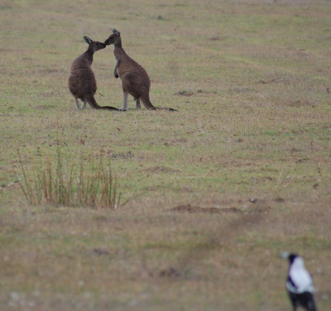 Känguru in Love