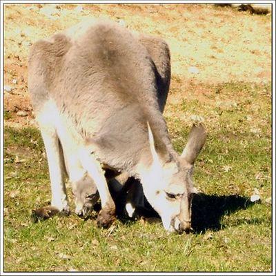 Känguru mit Baby ;-)