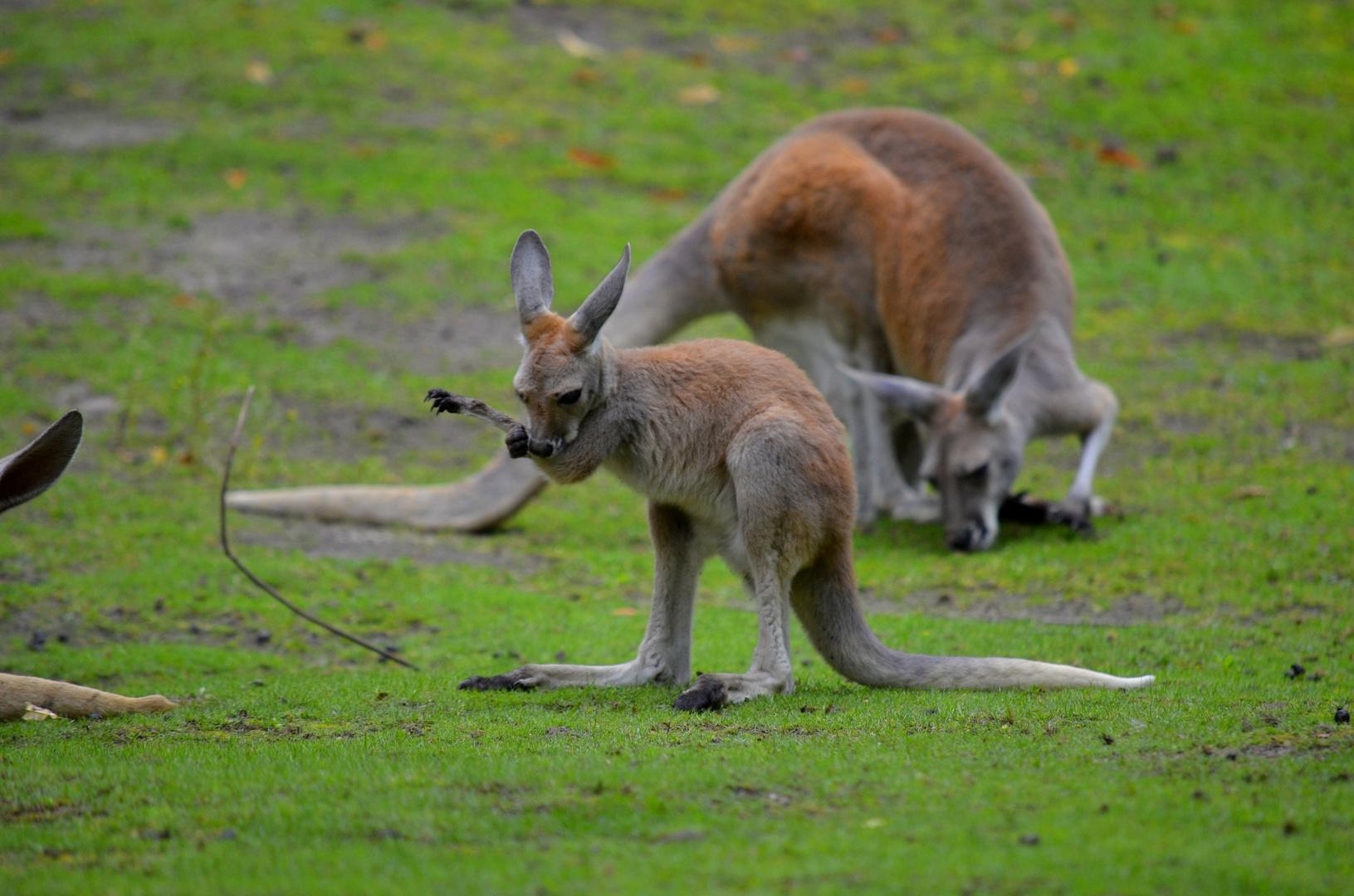 Känguruwäsche