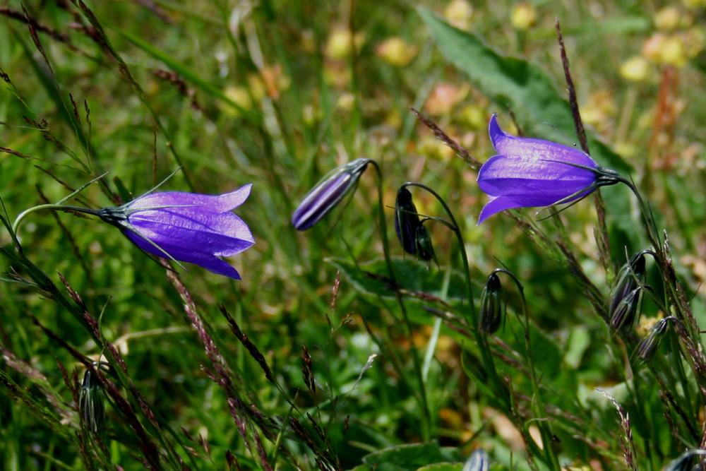 Kärnten - Glockenblümchen auf der Gerlitzen