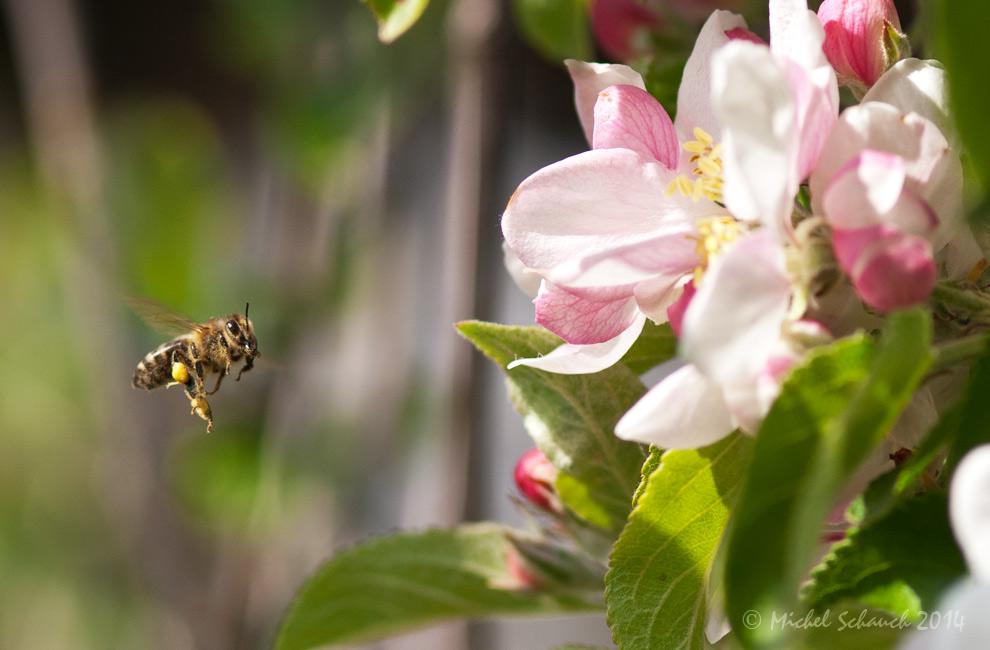 Kärntner Biene (Apis mellifera carnica)