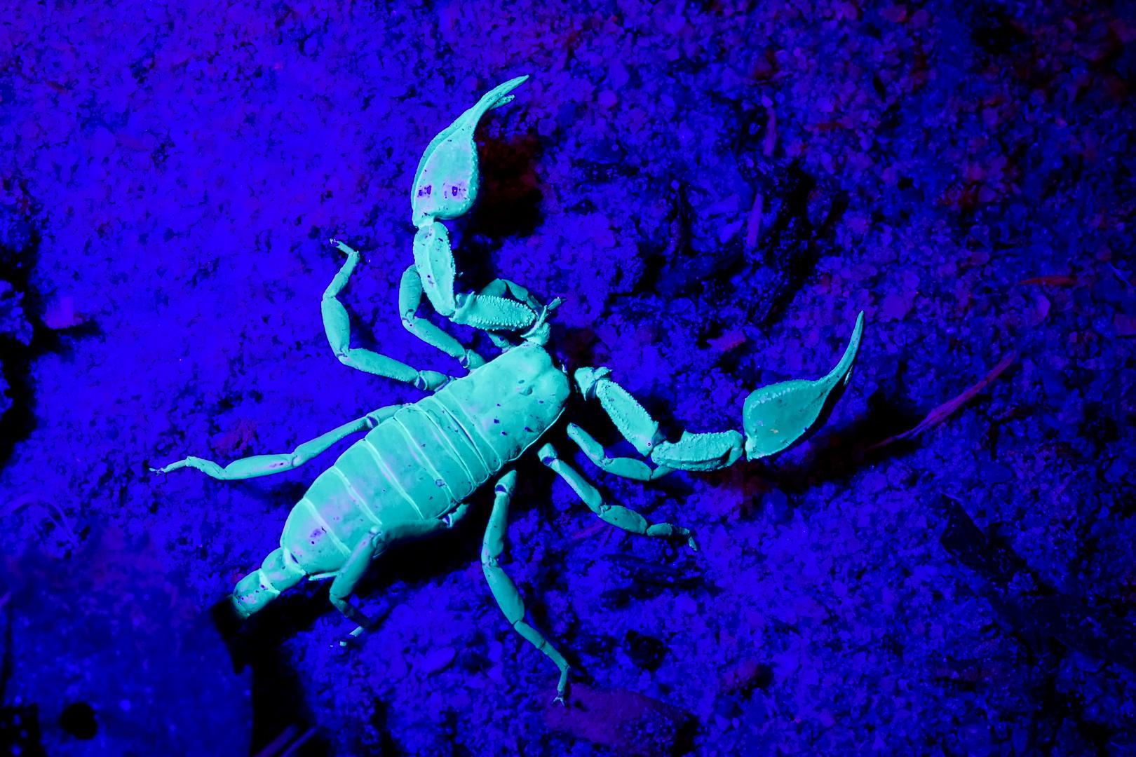 Kärntner Skorpion unter UV-Licht