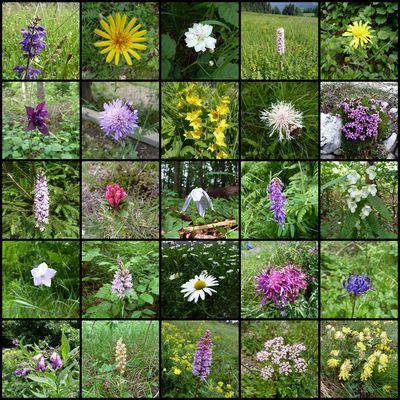 Kärntner Wildblumen Juni 2011