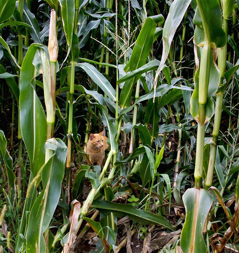 Kätzchen auf Entdeckungsreise im Kukuruzfeld!