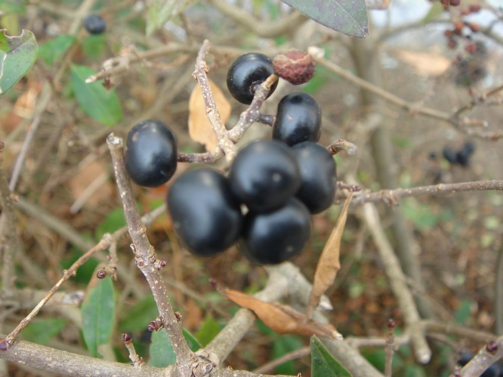 Kaffeebohne oder Beere