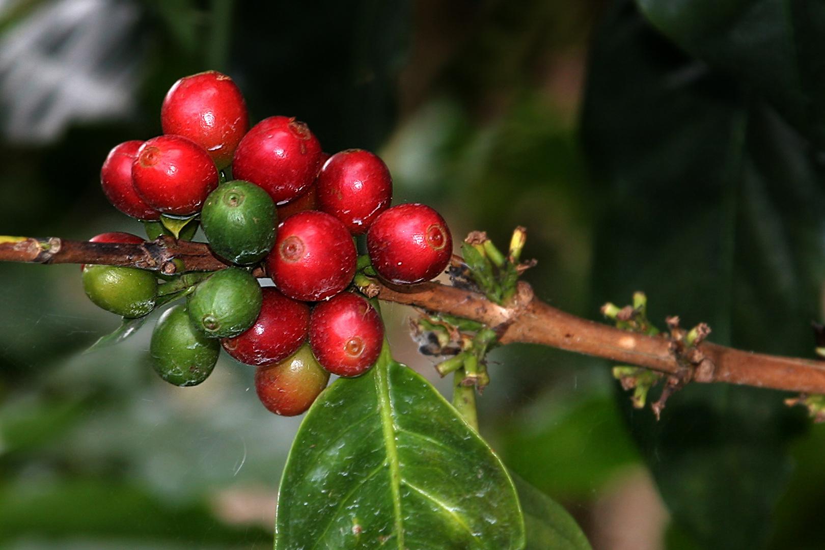 Kaffeepflanze (Costa Rica)