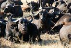 Kaffernbüffel bei der Mittagspause