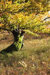 Kahler Asten - knorriger Baum