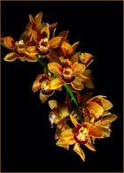 Kahnlippe (Cymbidium-Orchidee)